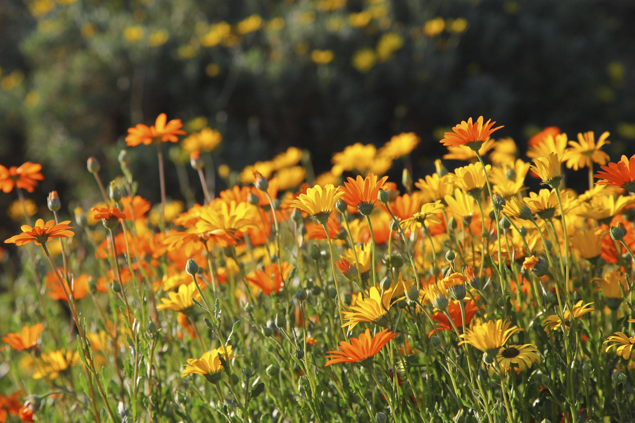 Namaqualand Daisies - rove.me