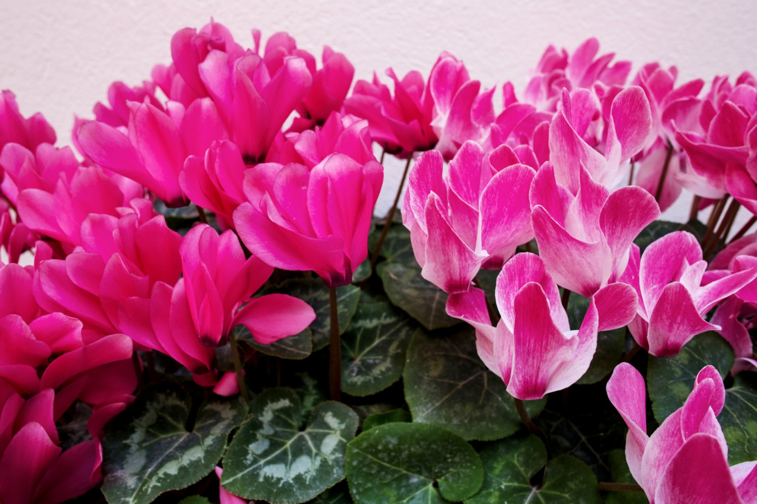 Plant of the month Cyclamen