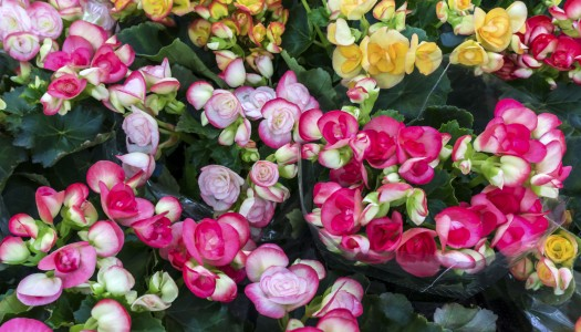 Plant of the month – Begonia