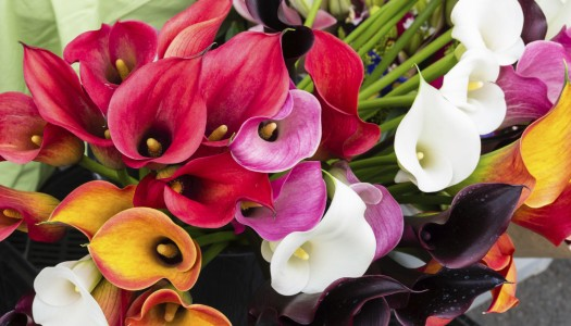 Plant of the month: Calla Lilies
